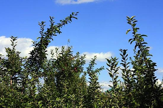 apple-picking-1.jpg